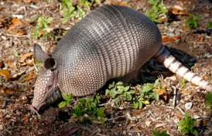 Texas Armadillo Leprosy Danger